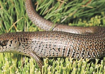 Alpine-she-oak-skink
