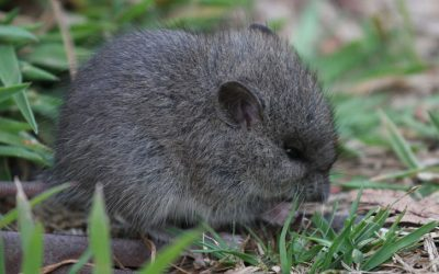 Species at risk: Broad-toothed mouse