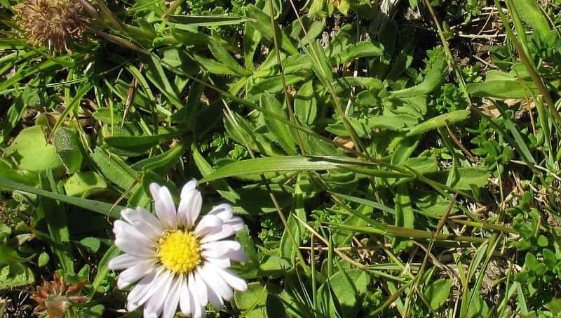 Max Mueller's burr-daisy. Photo NatureMapr | CC BY 3.0 AU