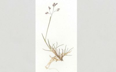 Species at risk: Perisher wallaby-grass