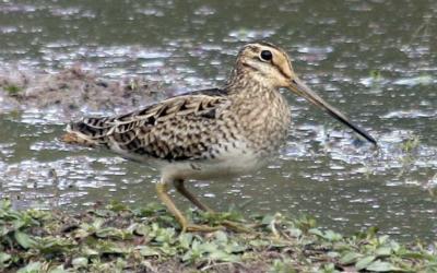 Species at risk: Latham's snipe