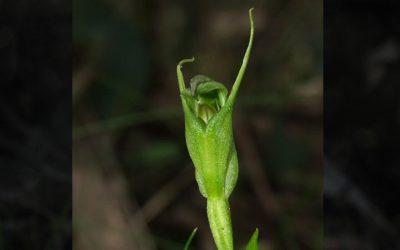 Species at risk: Slender greenhood